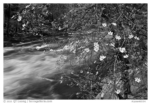 Dogwood in bloom on banks of Merced River. Yosemite National Park (black and white)