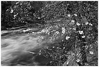 Dogwood in bloom on banks of Merced River. Yosemite National Park ( black and white)