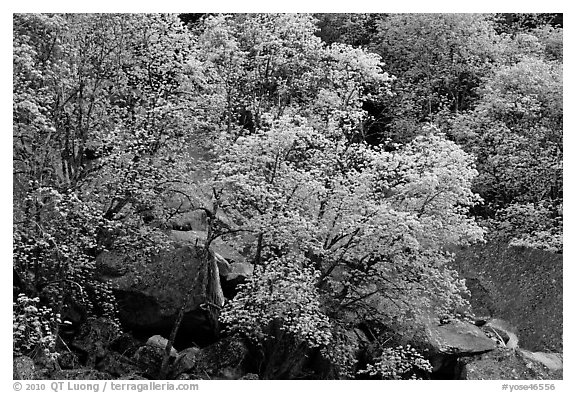 Newly leafed trees and boulders. Yosemite National Park (black and white)