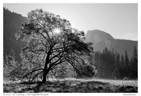 Sun through Elm Tree in the spring. Yosemite National Park (black and white)