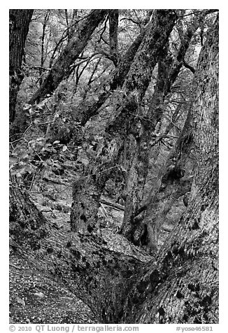 Gnarled Oak tree branches. Yosemite National Park (black and white)