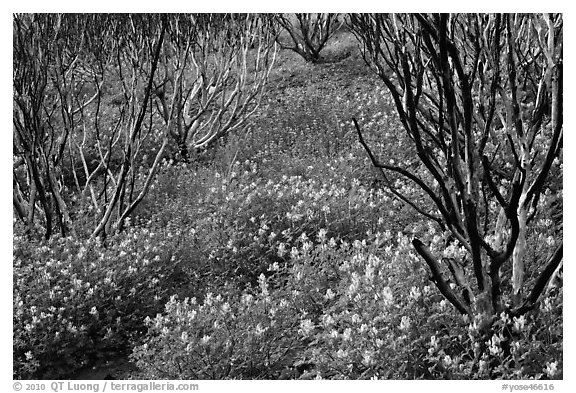 Burned manzanita and spring wildflowers. Yosemite National Park (black and white)