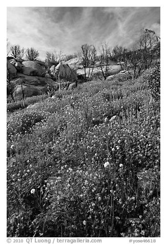 Wildflowers in burned area. Yosemite National Park (black and white)