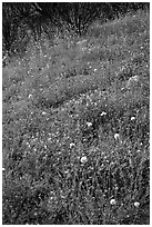 Wildflower-covered slope. Yosemite National Park ( black and white)