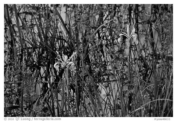 Wild Irises and cliff reflections. Yosemite National Park (black and white)