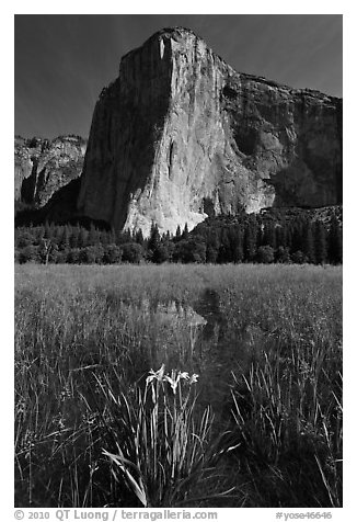 Irises, flooded meadow, and El Capitan. Yosemite National Park (black and white)