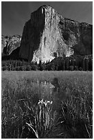 Irises, flooded meadow, and El Capitan. Yosemite National Park, California, USA. (black and white)