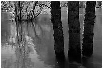 Flooded trees and Merced River. Yosemite National Park, California, USA. (black and white)