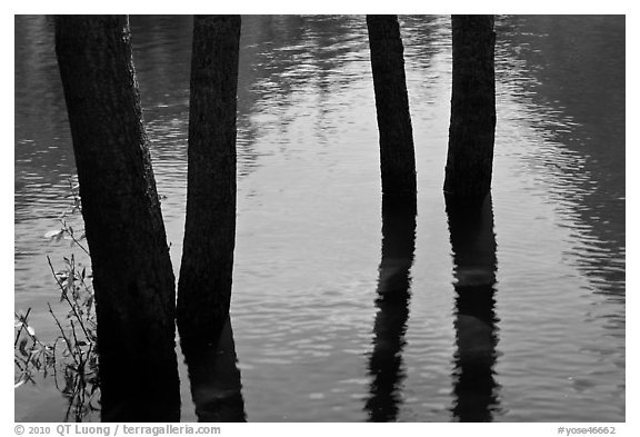 Four flooded tree trunks. Yosemite National Park (black and white)