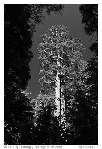 Giant sequoia in Merced Grove. Yosemite National Park (black and white)