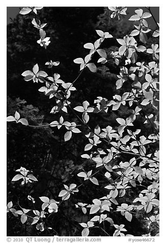 Backlit dogwood leaves and blooms, Merced Grove. Yosemite National Park (black and white)
