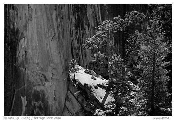 Pine trees and Half-Dome face. Yosemite National Park (black and white)