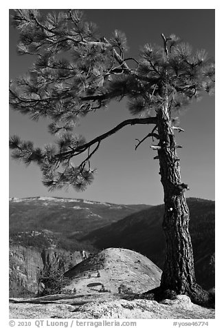North Dome framed by pine tree. Yosemite National Park (black and white)