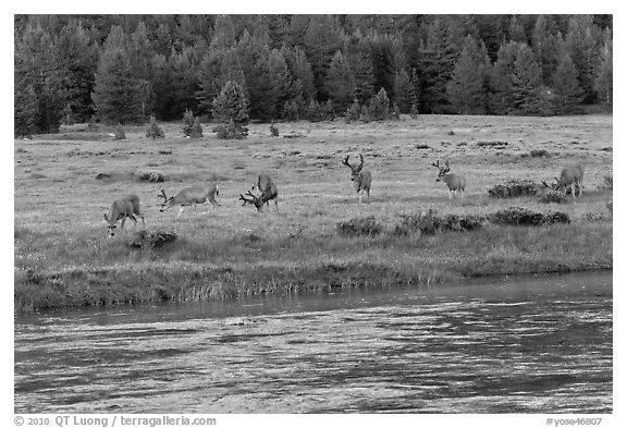 Herd of deer in meadow, Lyell Fork of the Tuolumne River. Yosemite National Park (black and white)