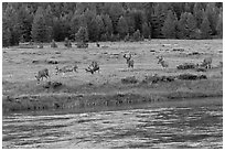Herd of deer in meadow, Lyell Fork of the Tuolumne River. Yosemite National Park, California, USA. (black and white)