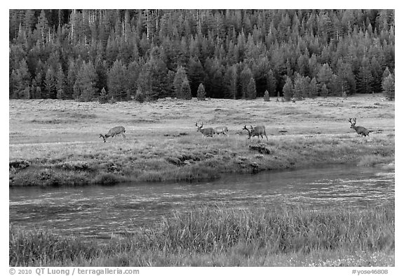 Deer herd at sunset, Lyell Canyon. Yosemite National Park (black and white)