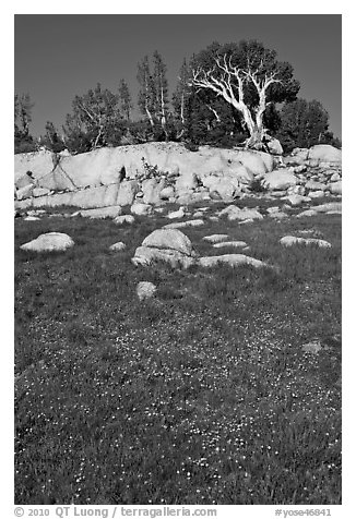 Trees above meadow in bloom. Yosemite National Park (black and white)