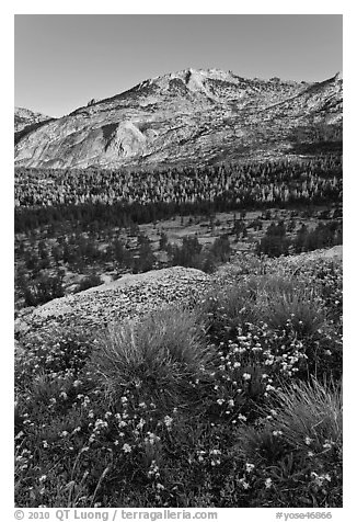 Wildflowers above Fletcher Creek Valley. Yosemite National Park (black and white)
