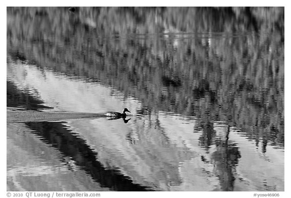 Duck and reflections, Merced Lake. Yosemite National Park (black and white)