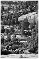 Smooth granite and pine trees. Yosemite National Park, California, USA. (black and white)
