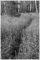 Dense wildflowers in forest. Yosemite National Park ( black and white)