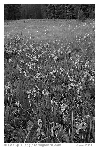 Shooting stars, Summit Meadow. Yosemite National Park (black and white)