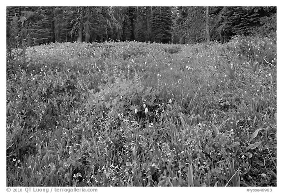 Summit Meadow with summer flowers. Yosemite National Park (black and white)