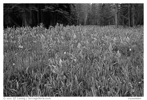 Flowers and forest edge, Summit Meadows. Yosemite National Park (black and white)