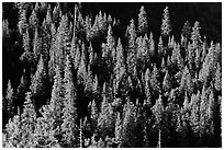 Pine trees on slope, Wawona. Yosemite National Park ( black and white)