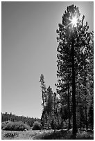 Sun through pine tree on edge of Wawona meadow. Yosemite National Park ( black and white)