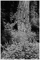 Lupine at the base of Giant Sequoia tree, Mariposa Grove. Yosemite National Park ( black and white)