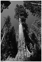 Giant Sequoia trees in summer, Mariposa Grove. Yosemite National Park ( black and white)