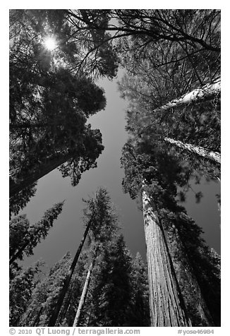 Looking up Giant Sequoia forest. Yosemite National Park (black and white)
