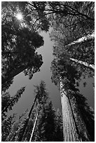 Looking up Giant Sequoia forest. Yosemite National Park ( black and white)