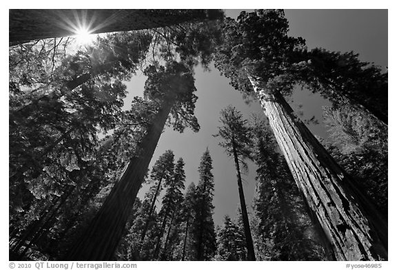 Sun and forest of Giant Sequoia trees. Yosemite National Park (black and white)