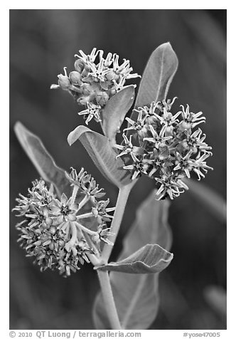 Showy Milkweed. Yosemite National Park (black and white)