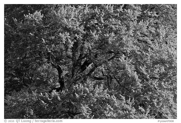 Elm Tree, summer. Yosemite National Park (black and white)