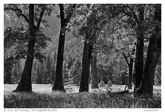 Black Oak Trees, El Capitan Meadow, summer. Yosemite National Park (black and white)