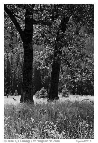 Black Oaks, El Capitan Meadow, summer. Yosemite National Park (black and white)