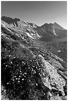 Wildflowers on slope, Sheep Peak and Upper McCabe Lake. Yosemite National Park, California, USA. (black and white)