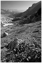 Alpine flowers on pass above Roosevelt Lake. Yosemite National Park, California, USA. (black and white)