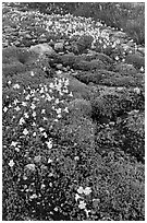 Yellow alpine flowers and stream. Yosemite National Park ( black and white)