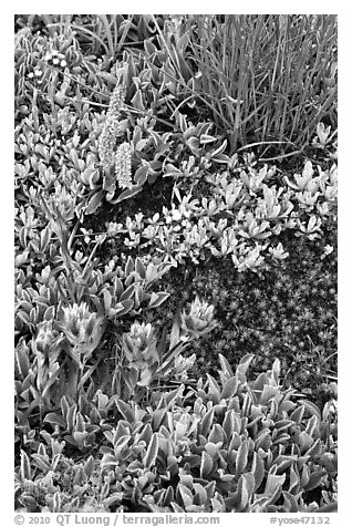 Close-up of alpine flowers. Yosemite National Park (black and white)