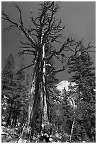Standing pine skeleton. Yosemite National Park, California, USA. (black and white)