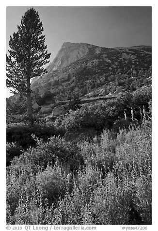 Backlit wildflowers, pine tree, and peak. Yosemite National Park (black and white)