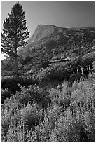 Backlit wildflowers, pine tree, and peak. Yosemite National Park ( black and white)