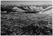 Alpine flowers and view over distant peaks, Mount Conness. Yosemite National Park, California, USA. (black and white)