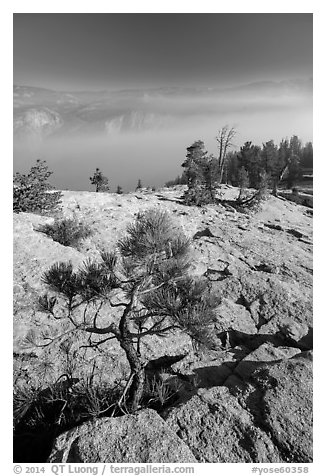 Pine sapling on Sentinel Dome. Yosemite National Park (black and white)