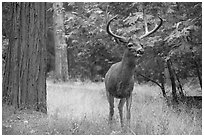 Deer with antlers. Yosemite National Park ( black and white)