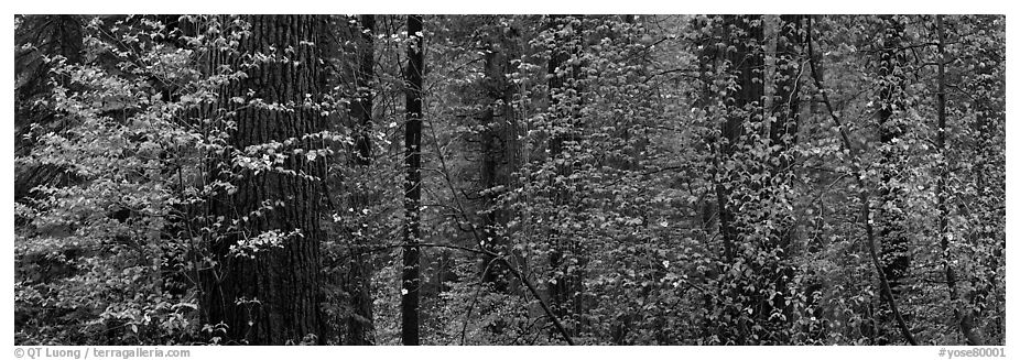 Forest with dogwood and flowers. Yosemite National Park (black and white)